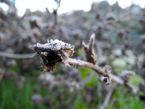 Thorns Under A Layer Of Ice