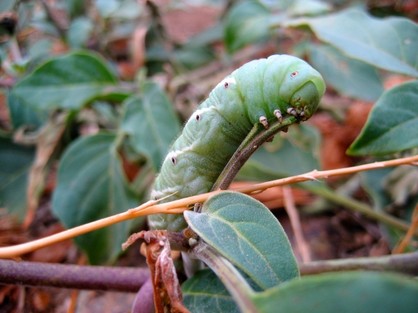 Caterpillar On Jimson Weed