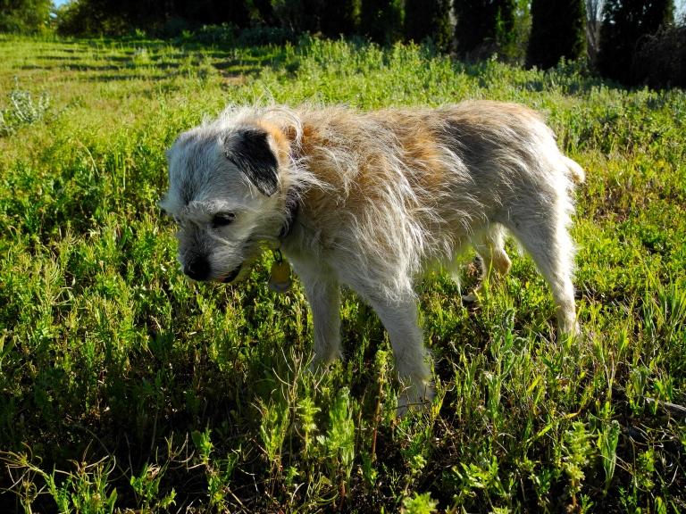 Weed Terrier