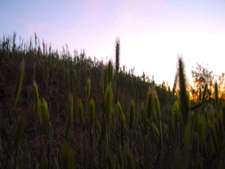 Foxtail March